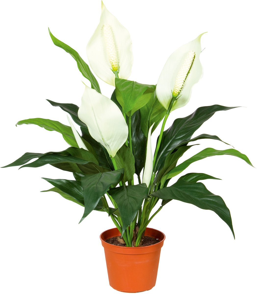 ოთახის მცენარე სპატიფილიუმი